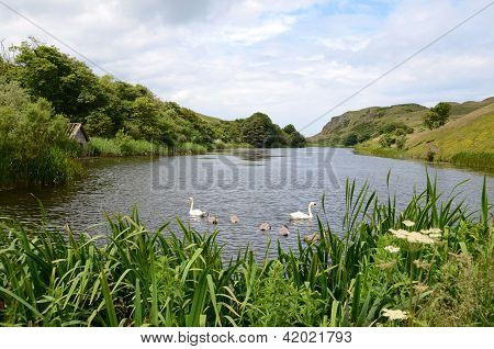 Swans, Mire Loch