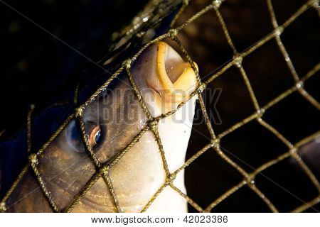 Fish In Fishing Nets