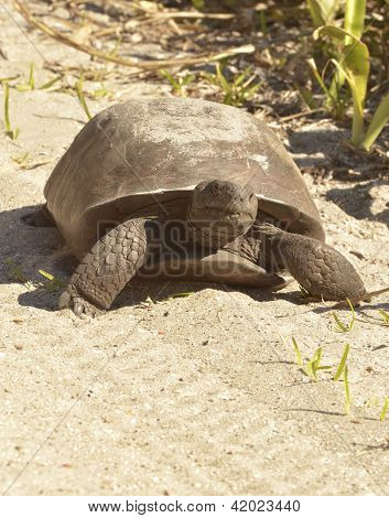 Gopher Turtle walking on a sandy path