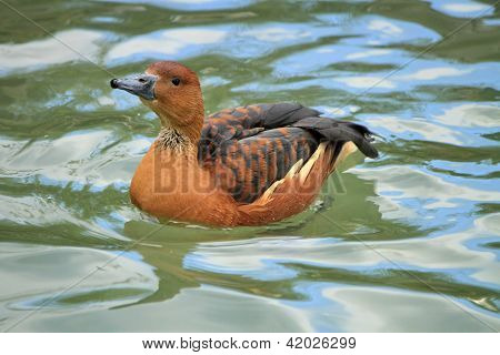 Widgeon Female Duck On Water