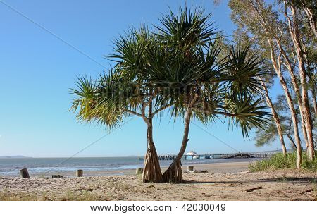 Pandanus tree on Fraser Island beach