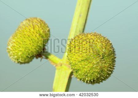 Flores de ponta de seta