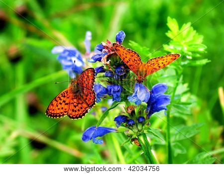 Butterflies Sit On A Blue Flower