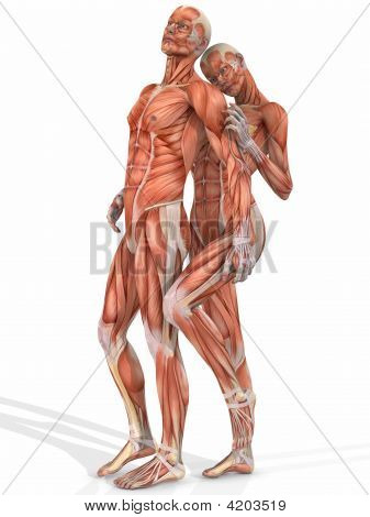 Female And Male Anatomic Body - Couple