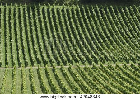 English Vineyard. Surrey. England