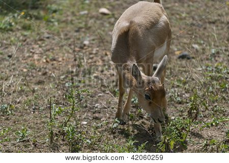 Little  Blackbuck