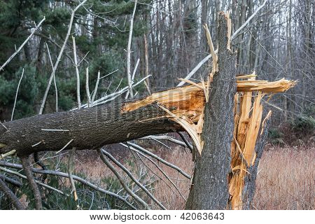 Fallen, Broken Tree From Hurricane Damage