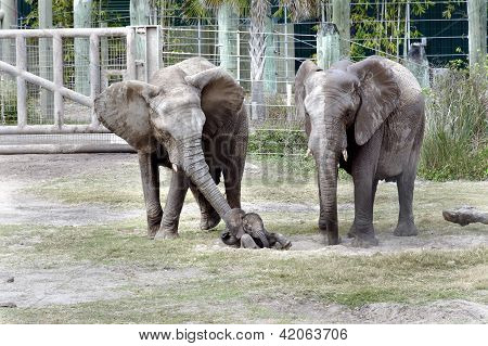 Baby Elephant At Lowry Park Zoo