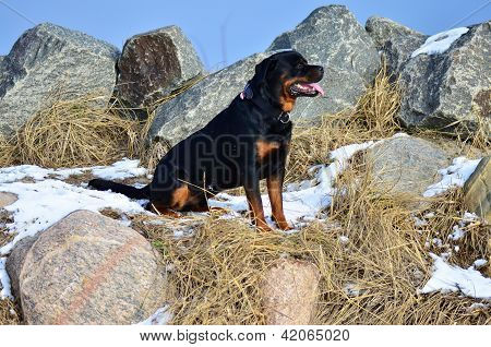 Happy Rottweiler Sitting Amongst Rocks