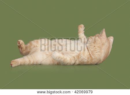 Kurilian Bobtail Kitten Laying On The Back