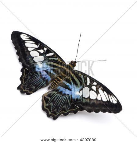 Parthenos Sylvia Butterfly