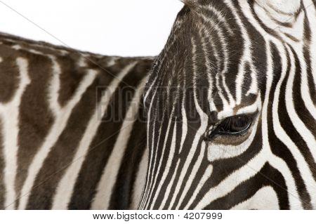 Zebra (4 Jahre)