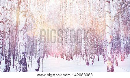 Bosque de vidoeiros mágica de Inverno