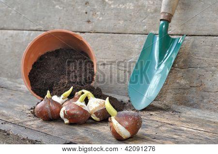 Plantio de bulbos de tulipa