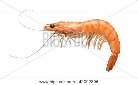 Close Up Of Tiger Shrimp