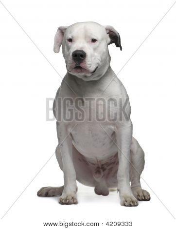 Argentine Dogo (2 Years)