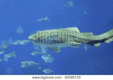 Zebra shark