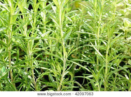 Rosemary, Rosmarinus officinalis
