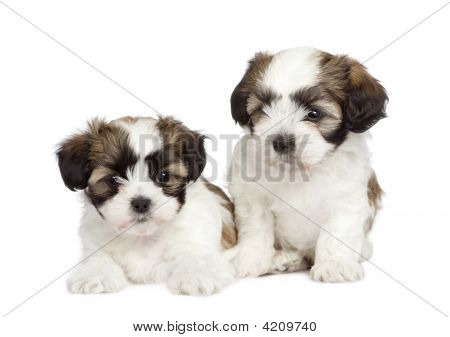 Puppy Mixed Breed Dog Between Shih Tzu And Maltese Dog