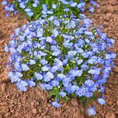 stock photo of lobelia  - A perfectly formed mound of compact lobelia in the home garden - JPG