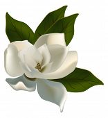 stock photo of magnolia  - illustration with single magnolia flower isolated on white background - JPG