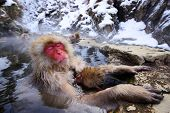 stock photo of macaque  - A Japanese Macaque relaxes in the hot spring protecting its young - JPG