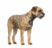 stock photo of border terrier  - Border terrier in front of a white background - JPG