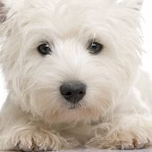 stock photo of west highland white terrier  - West Highland White Terrier  - JPG