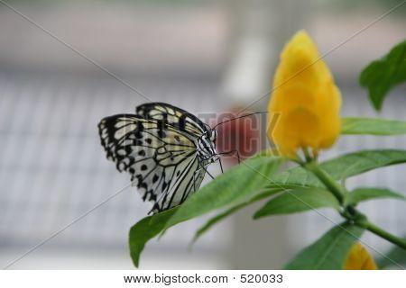 Schmetterling Schwarz & weiß