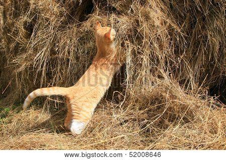 cat hunts mice