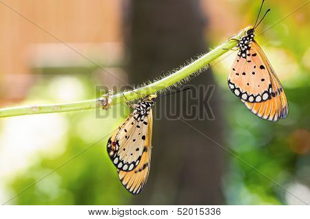 Two Tawny Coster Butterfly