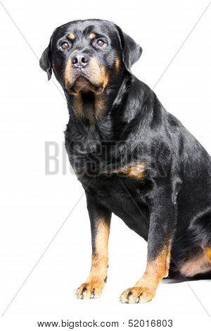 rottweiler dog