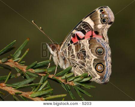Butterfly_37184