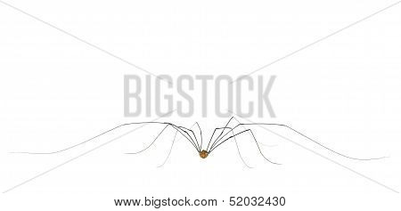Daddy Long Legs Arachnid