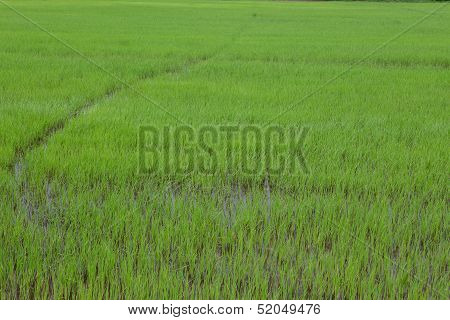 Paddy-sown Rice Field