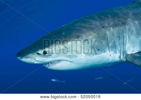 A great white shark swimming at Guadalupe Island looking for food.