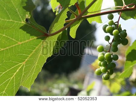 Grapes Kept Pace