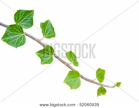 Green Ivy Branch Over White