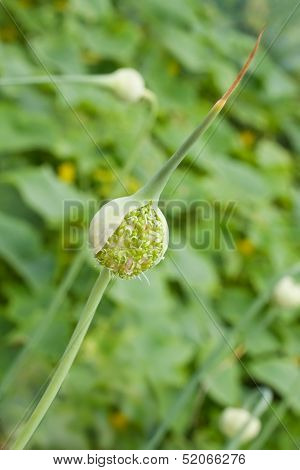 Garlic Chive In Stage Of Flower