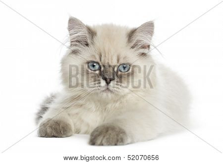 British Longhair kitten lying, looking at the camera, 5 months old, isolated on white