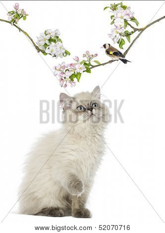 British Longhair kitten looking up at a bird perching on a flowery branch, isolated on white