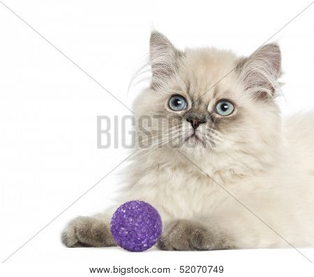 Close up of a British Longhair kitten with purple ball, 5 months old, isolated on white
