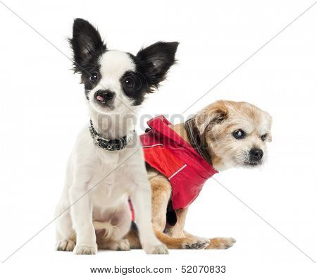 Crippled dogs, isolated on white