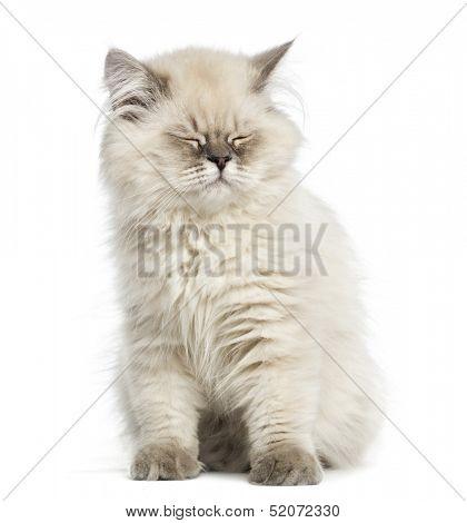 British Longhair kitten, sitting, eyes closed, isolated on white