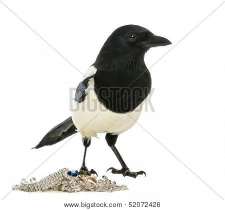 Common Magpie looking away with jewellery, Pica pica, isolated on white