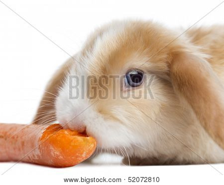 Close-up of a Satin Mini Lop rabbit eating a carrot, isolated on white