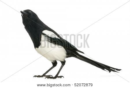 Common Magpie looking up curiously, Pica pica, isolated on white