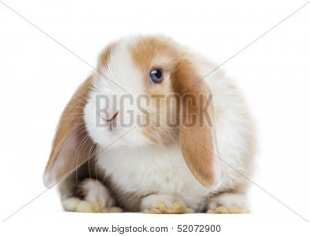 Satin Mini Lop rabbit facing, looking at the camera, isolated on white