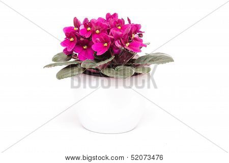 African Violets With Flowers
