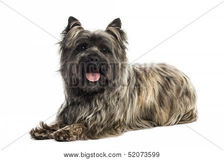 Side view of a Cairn Terrier panting, looking at the camera, isolated on white